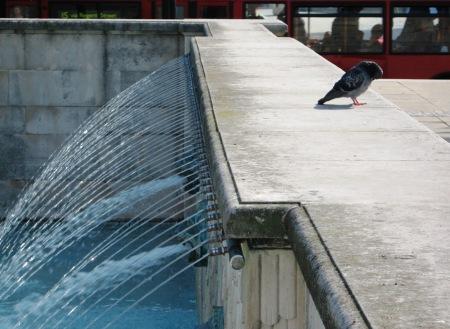 pigeon-at-st-pauls